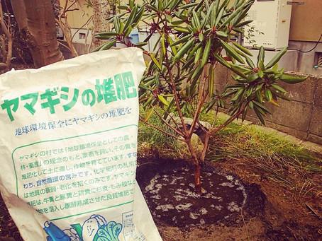 樹木移植 シャクナゲの移植作業