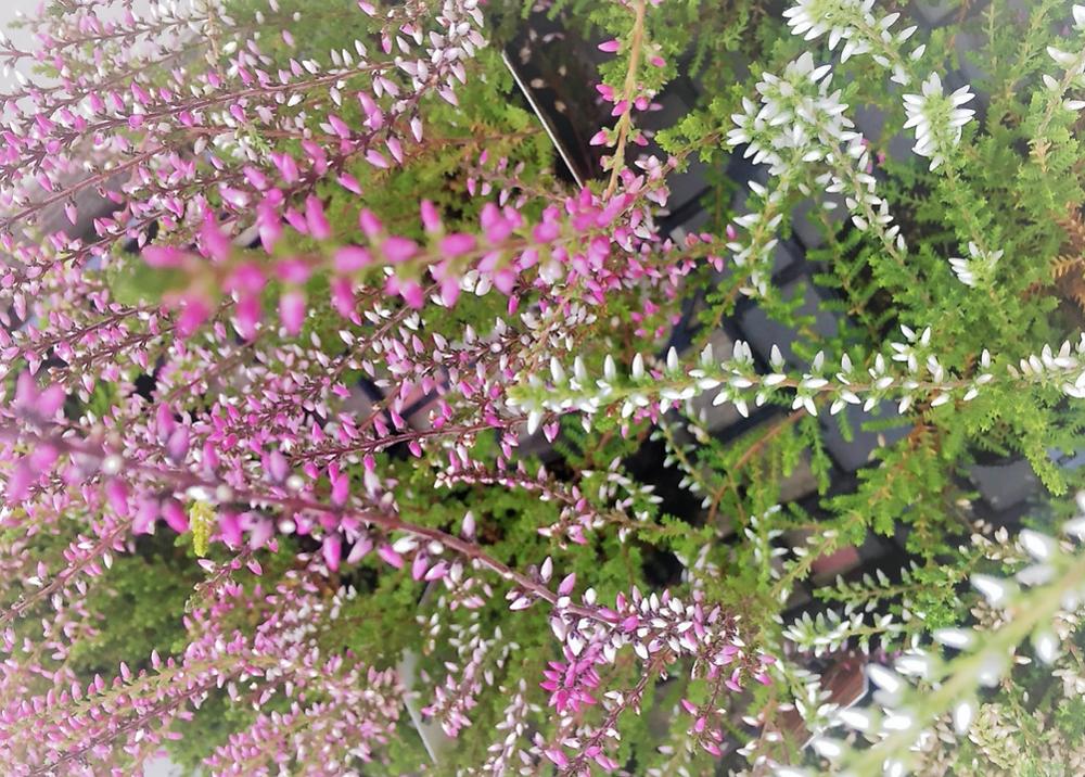 春を感じるパステルカラーのやさしい色調。冬咲き「カルーナ・ガーデンガールズ」