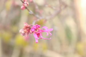 ベニバナマンサクの花