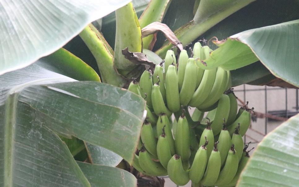 野菜だったの?だんだん実が反り返って成長するのが面白い!バナナ