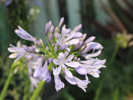 実は君子蘭の仲間で愛のあるお花、アガパンサス