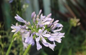 実は君子蘭の仲間で愛のあるお花、なかアガパンサス