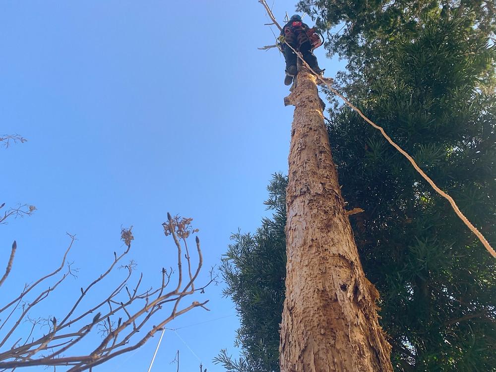 三重県菰野町 立ち枯れの檜伐採作業|三重県剪定伐採お庭のお手入れ専門店 剪定屋空