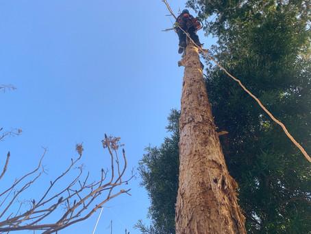 立ち枯れの檜伐採ご依頼