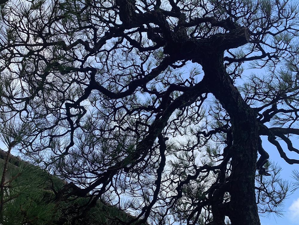 三重県亀山市にて黒松の剪定 身近な木から自然環境を考える