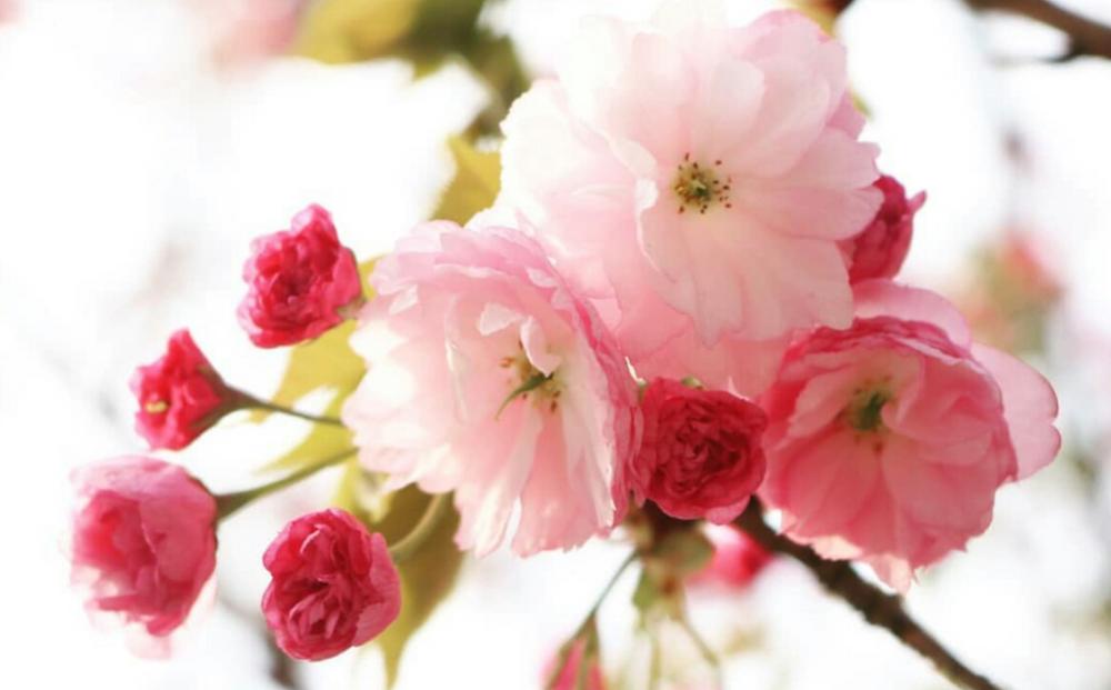 桜 八重咲き