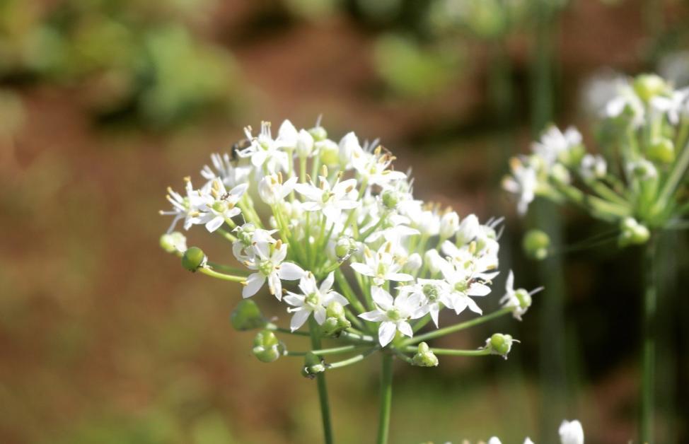 今回のお花はニラの花。ハナニラとは違います。ネギ属で多年草です。