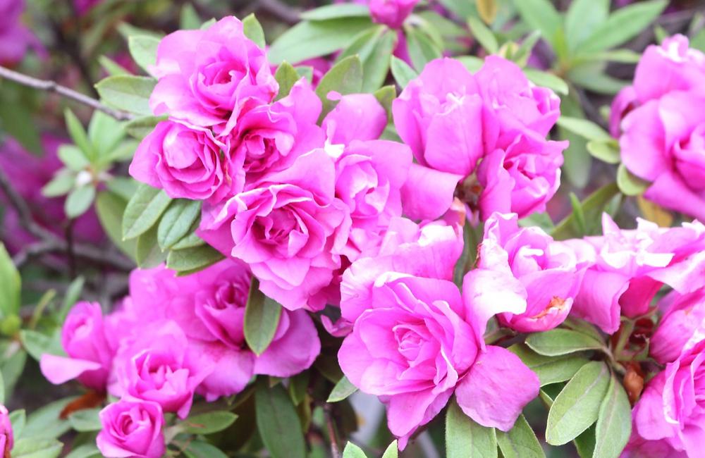 八重咲きツツジ