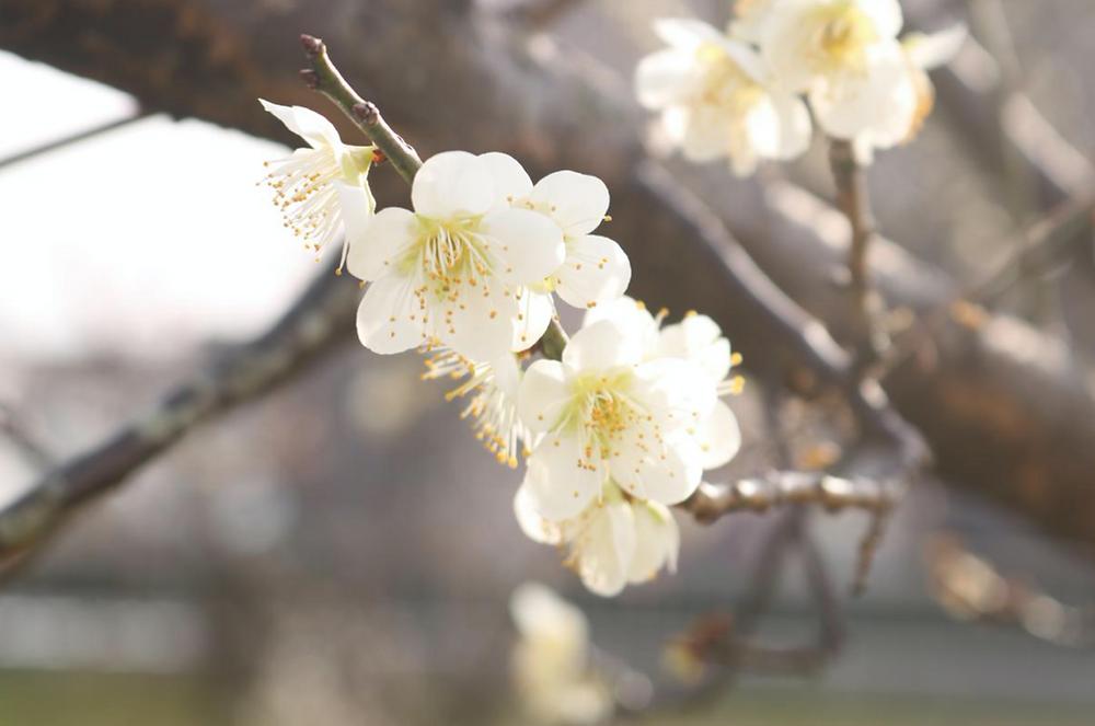 日本の国花って?梅は違うの?