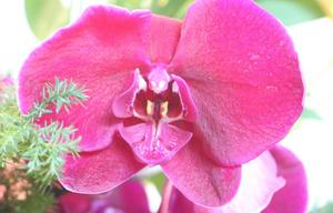 洋蘭の唇弁