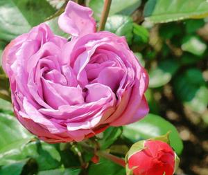 ロゼット咲き バラ