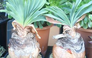 珍しい植物で「ブーファンディスティカ」です。球根植物の1つです。球根植物の中では大きい部類で、変わった見た目に目を奪われます。多肉植物として売られている場合もありますが、お値段は少し高めです。