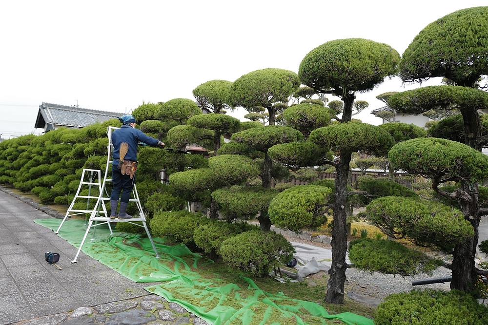 菰野横山邸園にてイブキの刈り込み