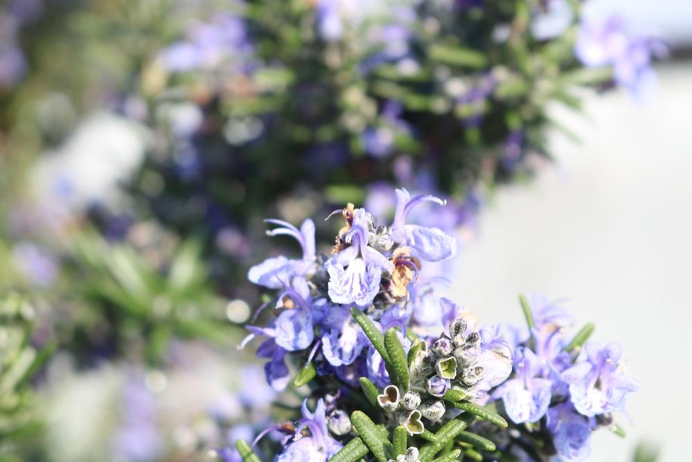 お花は食べることも可能!ローズマリー|三重県剪定伐採お庭のお手入れ専門店 剪定屋空