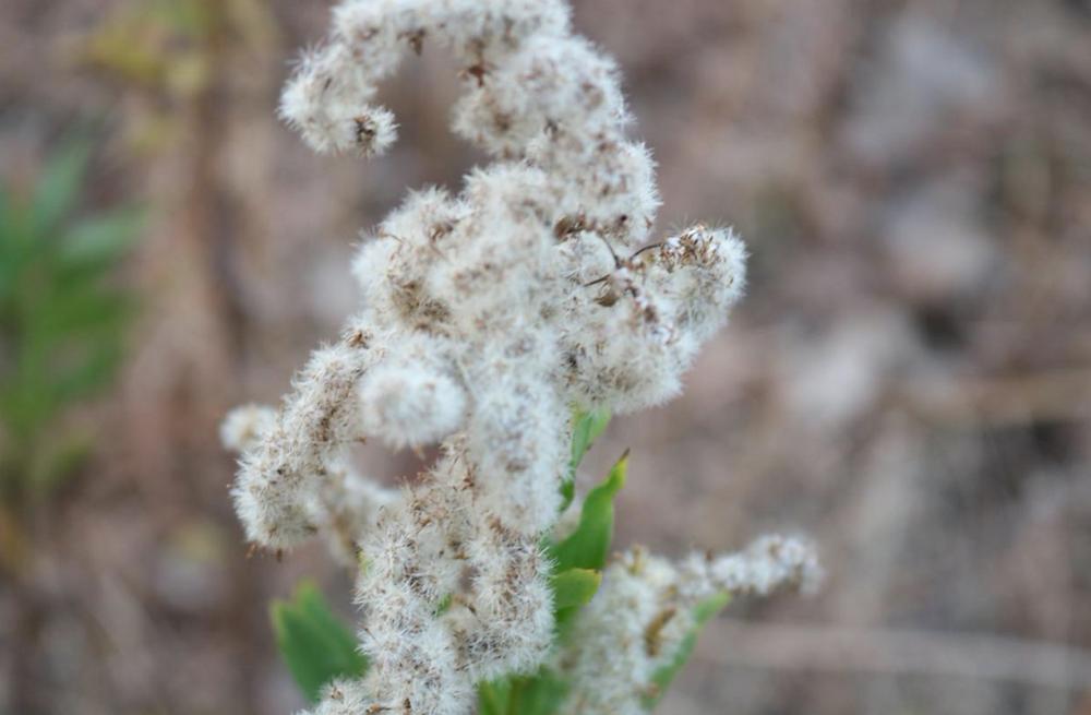 結局自滅してしまうかなしい植物…ふわふわのセイタカアワダチソウ