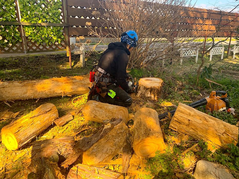 三重県菰野町 立ち枯れの檜伐採作業|三重県剪定伐採専門店 剪定屋空