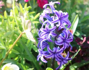 水耕栽培も楽しいヒヤシンス|三重県剪定伐採お庭のお手入れ専門店 剪定屋空