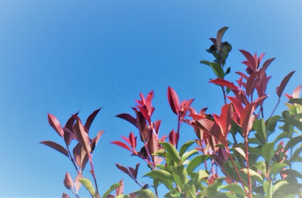グリーンと新芽の赤が美しい「ベニカナメモチ」
