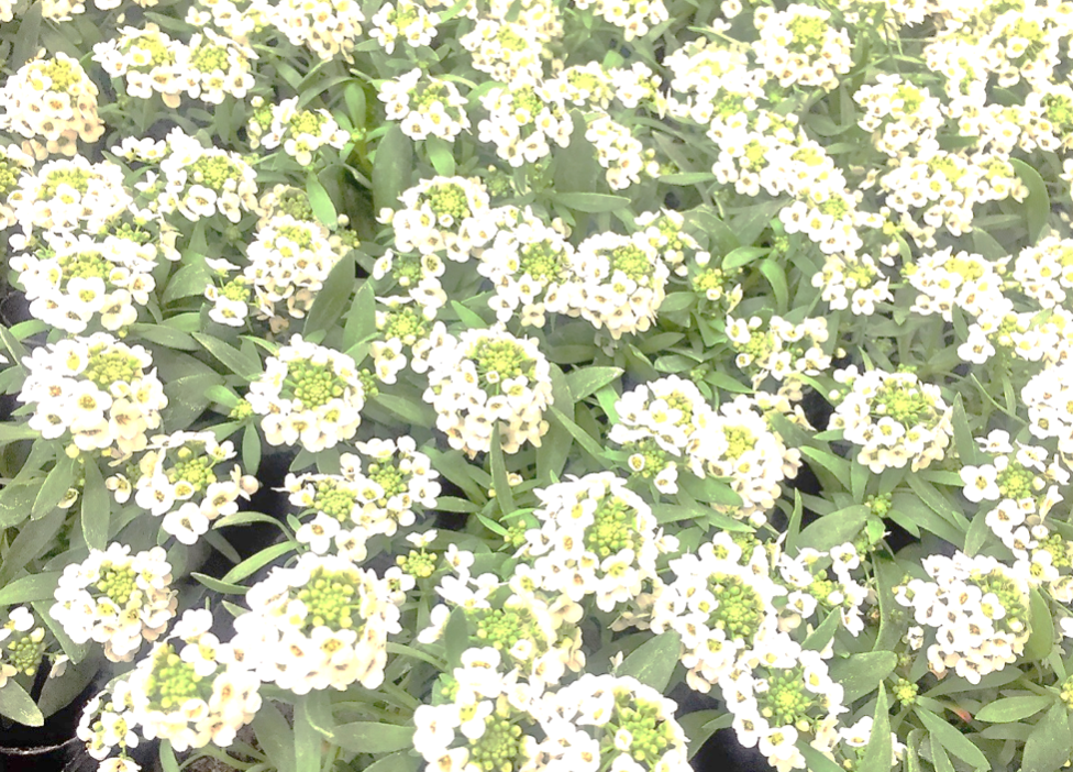 小さな花が仲良く並ぶ、ブーケのような花「アリッサム」