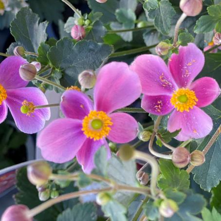 純和風の花 シュウメイギク