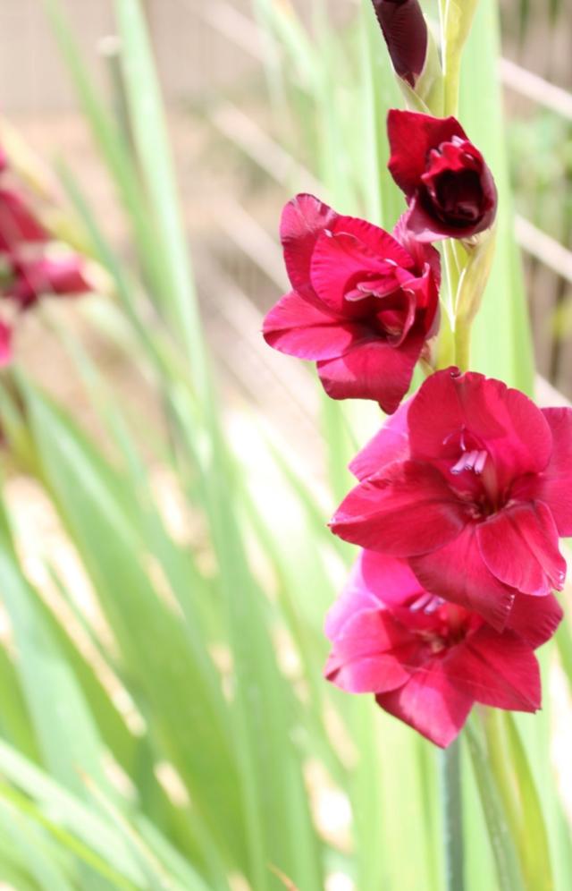 夏の花壇に存在感抜群のグラジオラス 球根は掘りあげた方が良いのか?