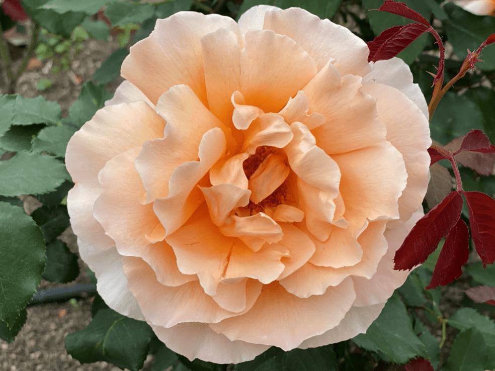 花の女王・・・薔薇