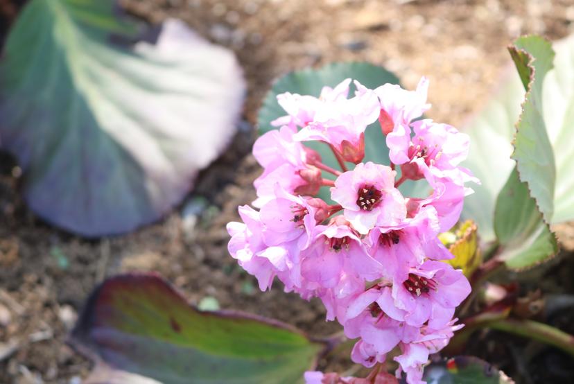 花壇のヒマラヤユキノシタ