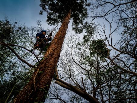 亀山市にて杉の枝打ち剪定とツタ取り