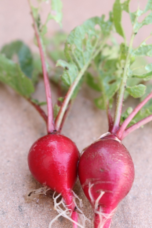 初めての家庭菜園におすすめのラディッシュ 育てやすい時期は?