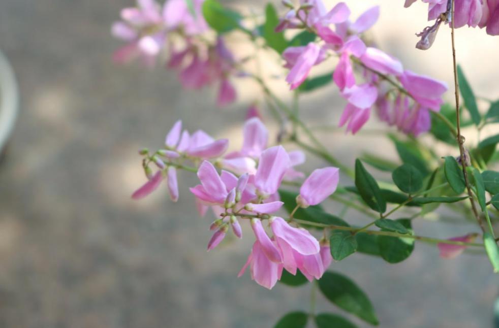 鉢で気軽に育てられる藤?庭藤の花