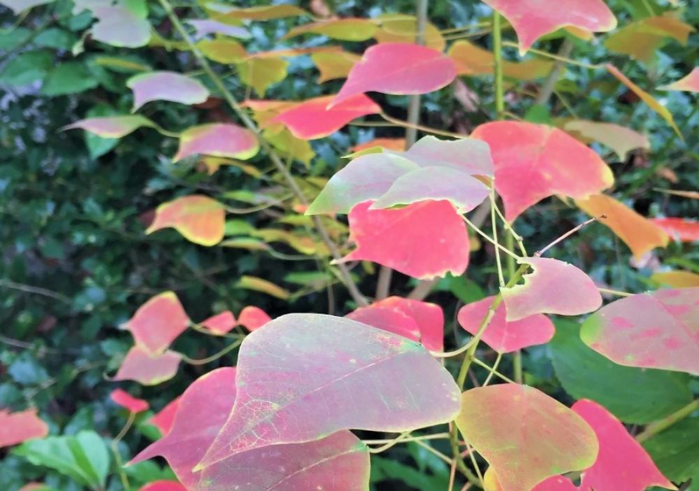 どこからかやってきた紅葉する葉「ナンキンハゼ」