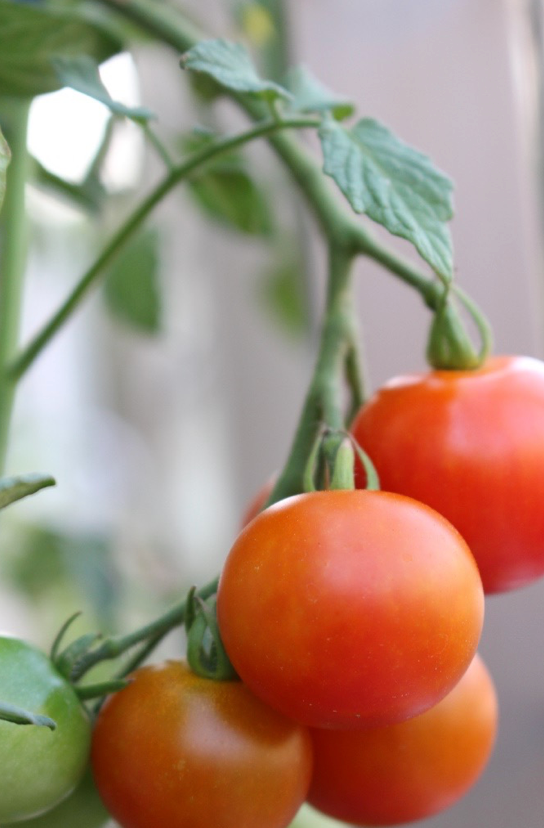 ミニトマトを美味しくしてくれる植物は?