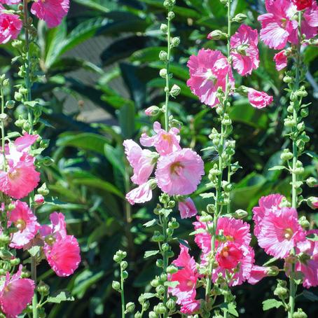 コケコッコーなお花はハイビスカスに似ています!タチアオイ