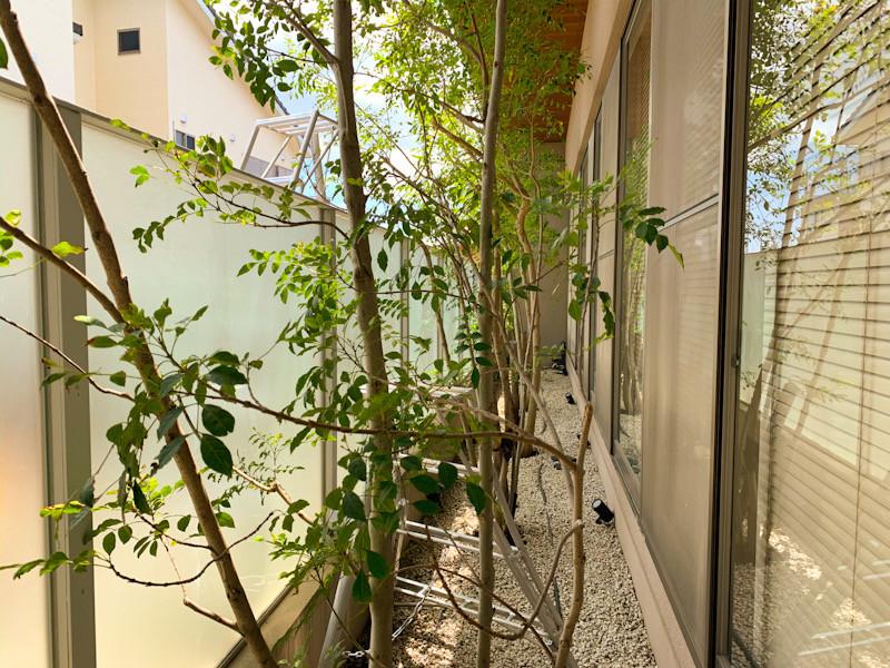まだまだ枝数が少ないシマトネリコ