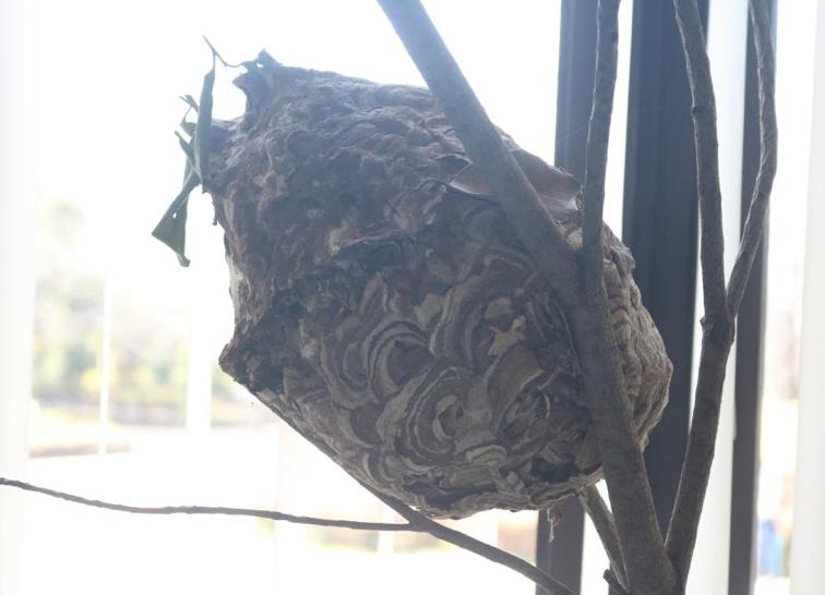 実は木造住宅だった!キイロスズメバチの巣