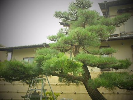 桑名市にて黒松と庭木の剪定作業