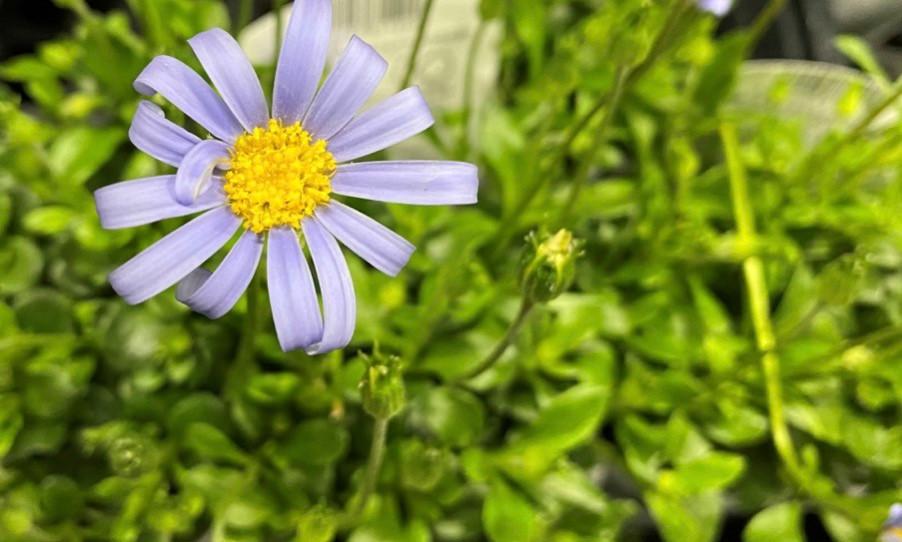 涼しげな花色のブルーデージー