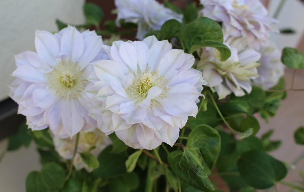 つる植物の女王クレマチスの魅力とは