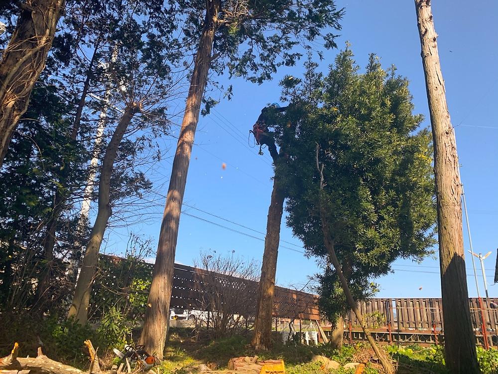 三重県菰野町檜伐採作業|三重県剪定伐採お庭のお手入れ専門店 剪定屋空