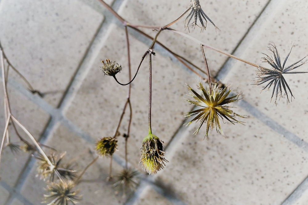 どこか懐かしい植物「コセンダングサ」