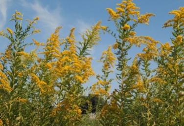 セイタカアワダチソウはその暴力的な繁殖力と、外来種という負のイメージから、花粉症の犯人にも仕立てられることもありました。「仕立てられる」というのは、花粉症の原因に関して、セイタカアワダチソウは無実だったからです。