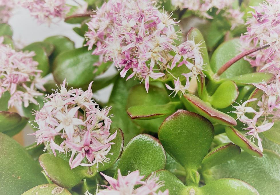 縁起の良い植物の代表格。ピンクの可憐な花「花月」
