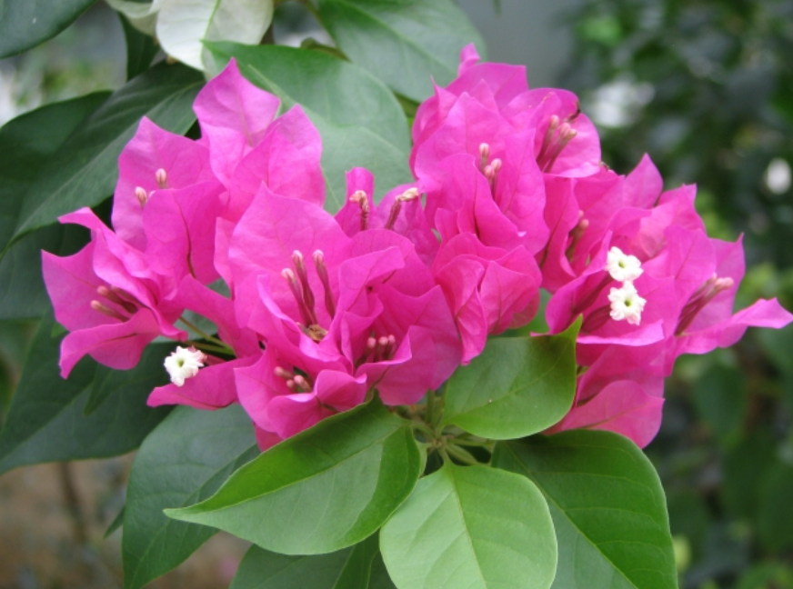 これは何色の花でしょう?ブーゲンビリアが咲かない理由とは
