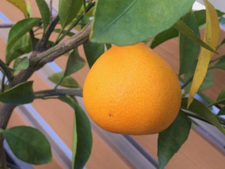 コタツにみかん。日本人に愛される果実「ウンシュウミカン」