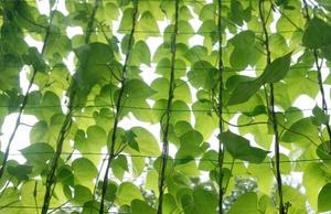 剪定屋空  三重県剪定伐採お庭のお手入れ専門店 グリーンカーテン