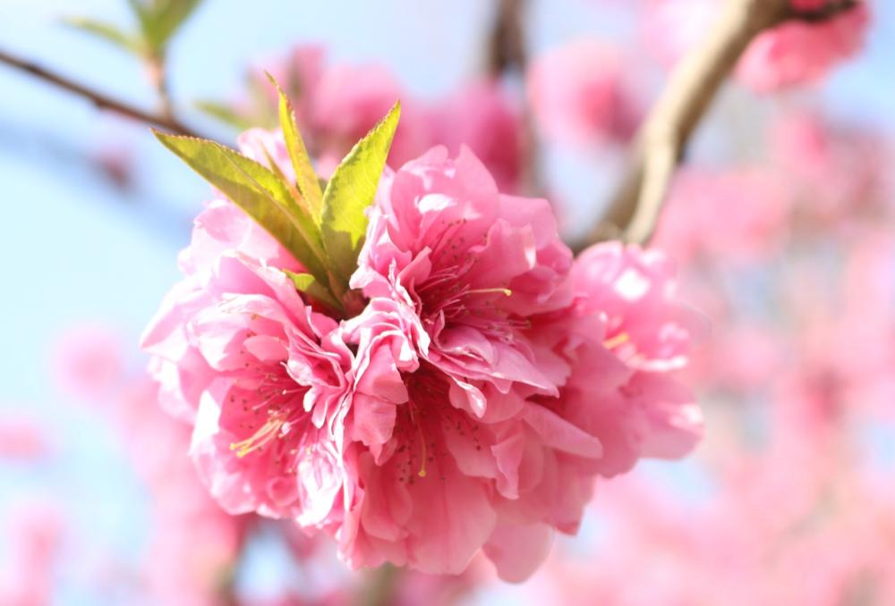 桜と間違われるハナモモは歴史深いお花!実は食べられる?|剪定屋空
