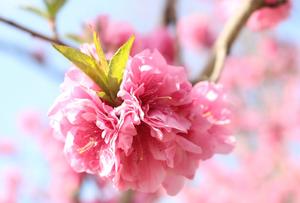 桜と間違われるハナモモは歴史深いお花!実は食べられる? 剪定屋空