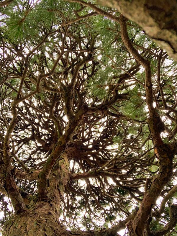 ゴヨウマツ(五葉松、Pinus parviflora)