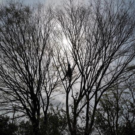 四日市市伐採|欅の木4本伐採作業のご依頼
