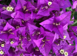 情熱の花・・・ブーゲンビレア
